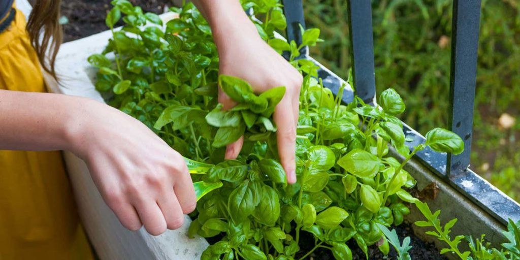 How Do I Get Rid Of Basil Plant Bugs